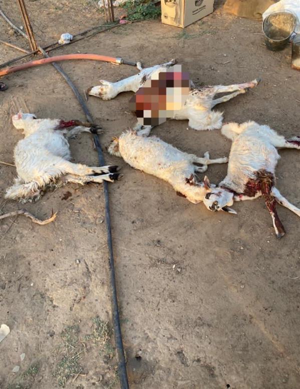 d80e0132 f260 4ebf b392 239d1173e982 - كلاب ضالة تهاجم قطيع أغنام في حي الجربة بنجران